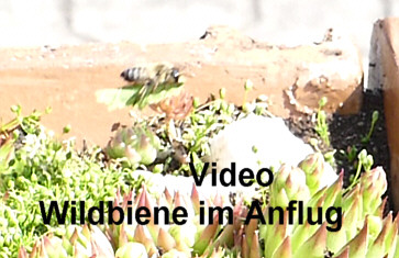 Kurzes Video - Wildbiene